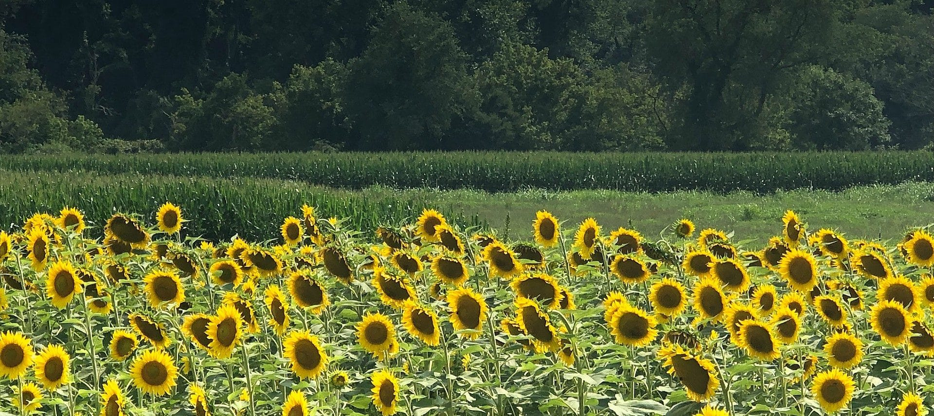 A field of bright yellow sunflowers in front of tall green grass and a forest of trees