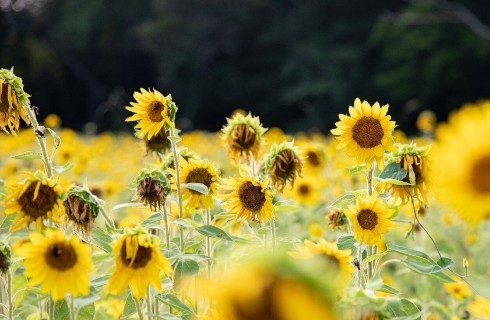 Field of bright yellow sunflowers with blurred forest in the background